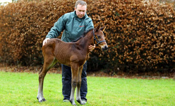 The first foal to be born out of Sea The Stars with Michael Martin Kildalkey 24.01.2011