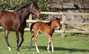 Zarkava with her Sea The Stars colt foal at Gilltown Stud