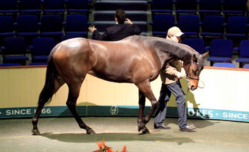 Teos Sister - Goffs February Sale topper