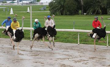 Ostrich-race-