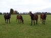 Foals grazing at Blue Diamond Stud South formerly Chevington Stud