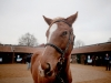 NEWMARKET ENGLAND NOVEMBER 28 Lot Number 1087 an 8 month old chestnut filly waits patiently at Tattersalls Auctioneers where she is one of four foals sired by the legendary racehorse Frankel to be going under the hammer on November 28 2014 in New