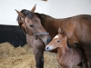 Quevega with her first filly foal who was born on Friday see story right