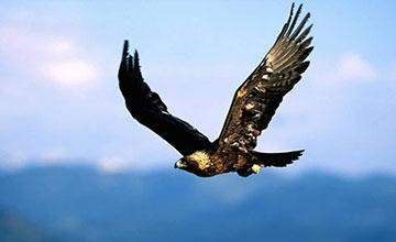 Golden-eagle-soaring-360