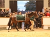 Harlem is led around the sales parade ring at Newmarket yesterday